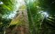 Copaíba tree (genus Copaifera), from which Munduruku extract an oil used as healing and anti-inflammatory. Forest next to the Tapajós river, in Sawré Muybu Indigenous Land, home to the Munduruku people, Pará state, Brazil. Brazilian Government plans to build 43 dams in the Tapajós river basin. The largest planned dam, São Luiz do Tapajós, will impact the life of indigenous peoples and riverside communities. Mega-dams like these threaten the fragile biome of the Amazon, where rivers are fundamental to regeneration and distribution of plant species and the survival of local flora. Renewable energy, such as solar and wind, holds the key to Brazil's energy future. Copaíba (gênero Copaifera), da qual os Munduruku extraem um óleo cicatrizante e antiinflamatório. Floresta próxima ao Rio Tapajós, na região da Terra Indígena Sawré Muybu, do povo Munduruku, no Pará. O governo brasileiro planeja construir 43 hidrelétricas na bacia do Tapajós. A maior delas, São Luiz do Tapajós, terá impacto sobre a vida dos povos indígenas e comunidades ribeirinhas. Barragens como essas ameaçam o frágil bioma da Amazônia, onde os rios são fundamentais para a regeneração e distribuição de espécies vegetais e a sobrevivência da flora local. Energias renováveis, como solar e eólica, detêm a chave para o futuro energético do Brasil. Itaituba, Pará. 22/02/2016. Foto: Valdemir Cunha/Greenpeace.
